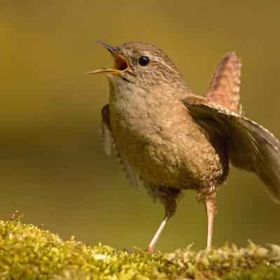 Female and male wrens sing as one